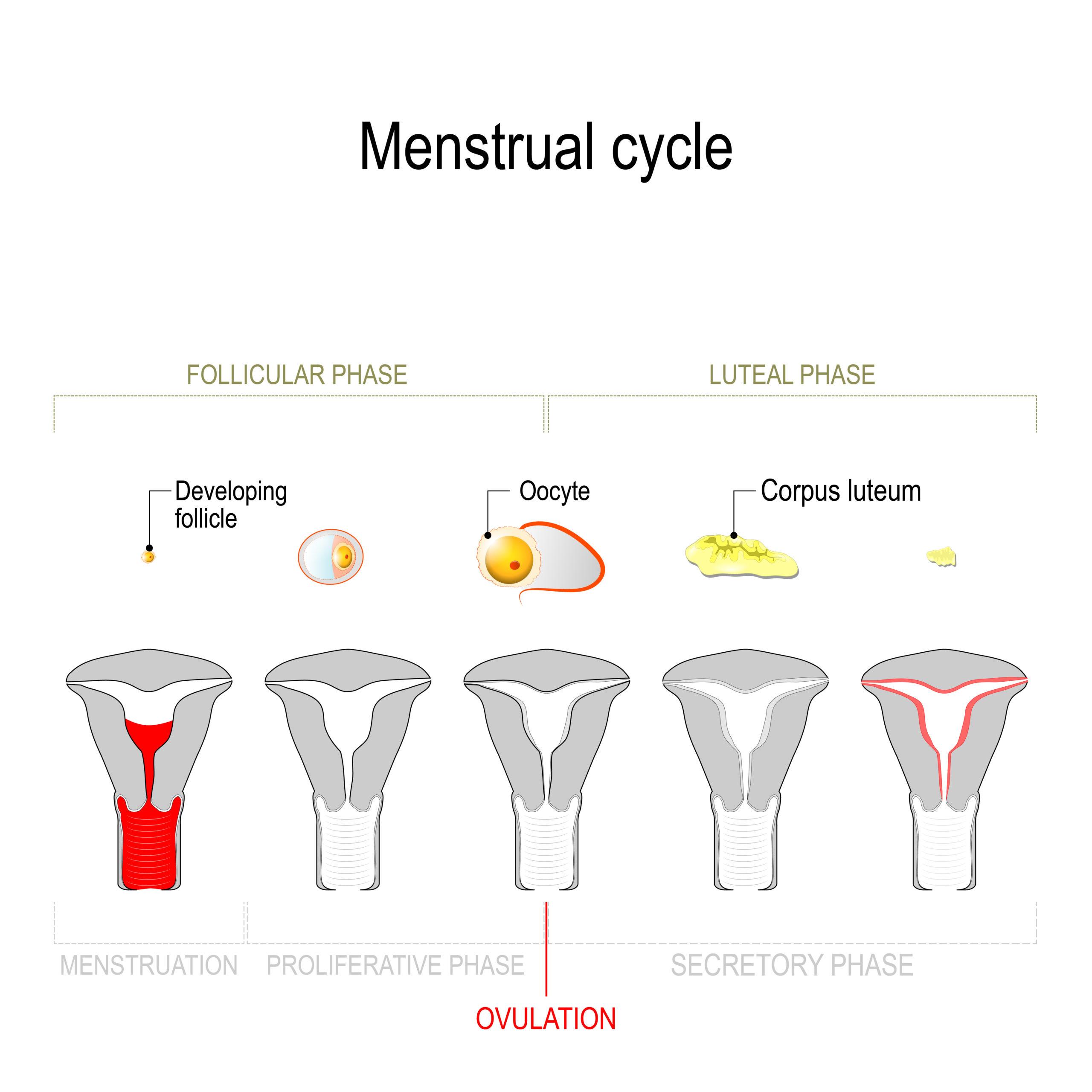 Cycle menstruel féminin